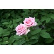 バラの花束 (50本入り) 栃木県産