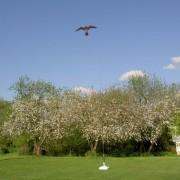 Hawk Kite black, brown of roofvogelprint | Vogelverjagende Vlieger