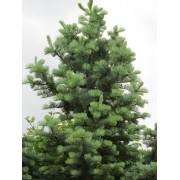 Kolorádófenyő / Abies concolor - 125-150