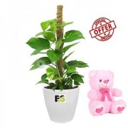 ES MONEY PLANT WITH MOSSTICK DECORATIVE WITH FREE COMBO GIFT - 6 TEDDYBEAR-PINK
