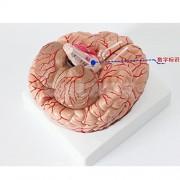 Tradico® Anatomical Head Tool Human Brain Model Anatomy Life Size Model Toy 13.5cm
