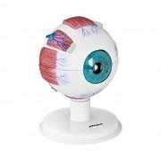 Eye Model - 6:1