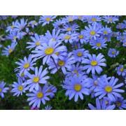 Blue Felicia