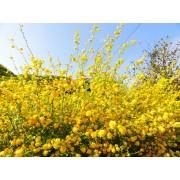 Boglárkacserje / Kerria japonica - 30-40