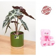 ES An Alocasia Plant HYBRIDE NATURAL LIVE WITH FREE COMBO GIFT - 6TEDDYBEAR-PINK