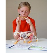 4D Vision Tiger Anatomy Model - Build your Own with 28 detachable parts & stand!