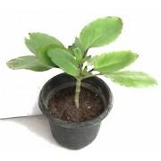 RAJ GARDEN PLANTS Patharchatta live plant Kalanchoe Pinnata - Bimbima Live Plant