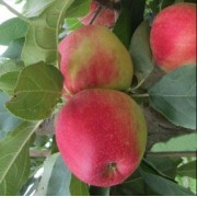 Măr Prima