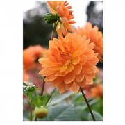 Flower Seeds : Dahlia Annual Blooming Plants Flower Seed All Season Planting Seeds Garden Home Garden Seeds Eco Pack Plant Seeds By Creative Farmer