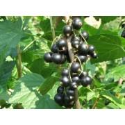 Coacaz Titania (tulpina inalta)